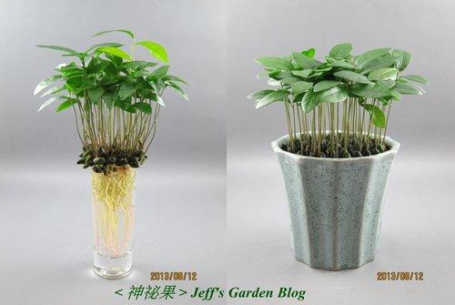 神祕果 (水,土耕) 2013.06.17種植