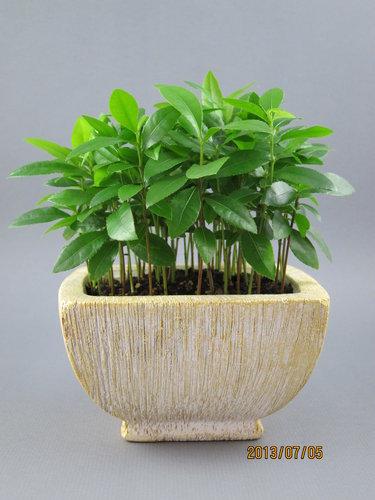 桂葉黃梅(米老鼠) 2012.12.31種植