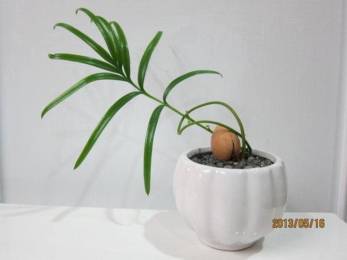 蘇鐵  (2012.12.17種植)