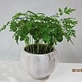 麻楝 (2013.03.21種植)