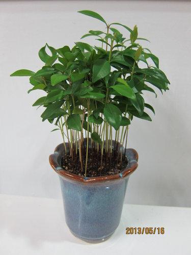 台灣赤楠 (2013.02.15種植)