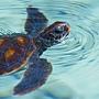 大溪地烏龜