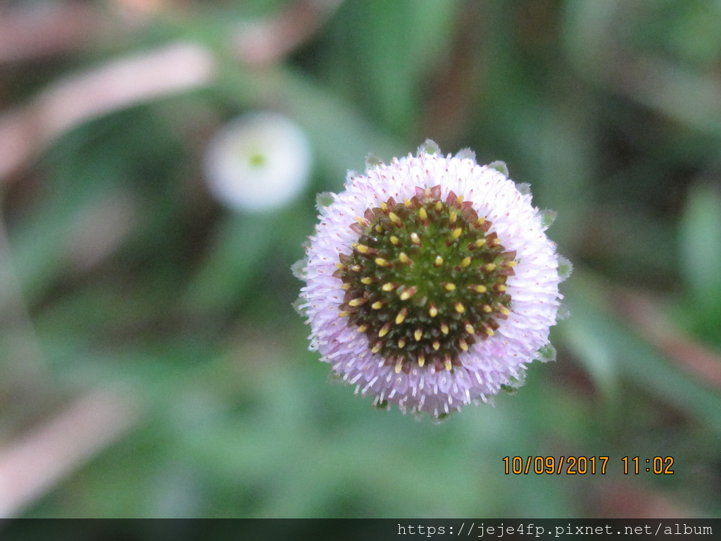 20171009 (79) 東埔山登山步道 [矮菊 (Myriactis humilis)].JPG