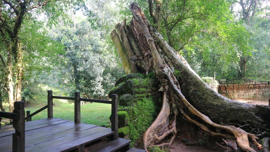 20180911 (50) 被砍後殘留的板根樹(Kapok)樹根 [塔普倫寺(Ta Prohm)].JPG