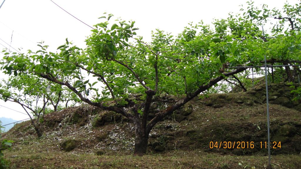 20160430 (30) 竹62公路5.7Km處 [甜柿果園 (樹幹未被清洗過)].JPG