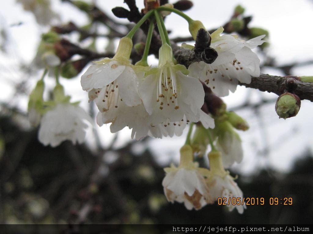 20190205 (232) 福爾摩沙櫻 [寒溪呢森林人文叡地].JPG