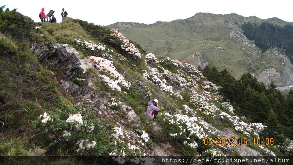 20160520 (161) 石門山東北側山坡的玉山杜鵑.JPG