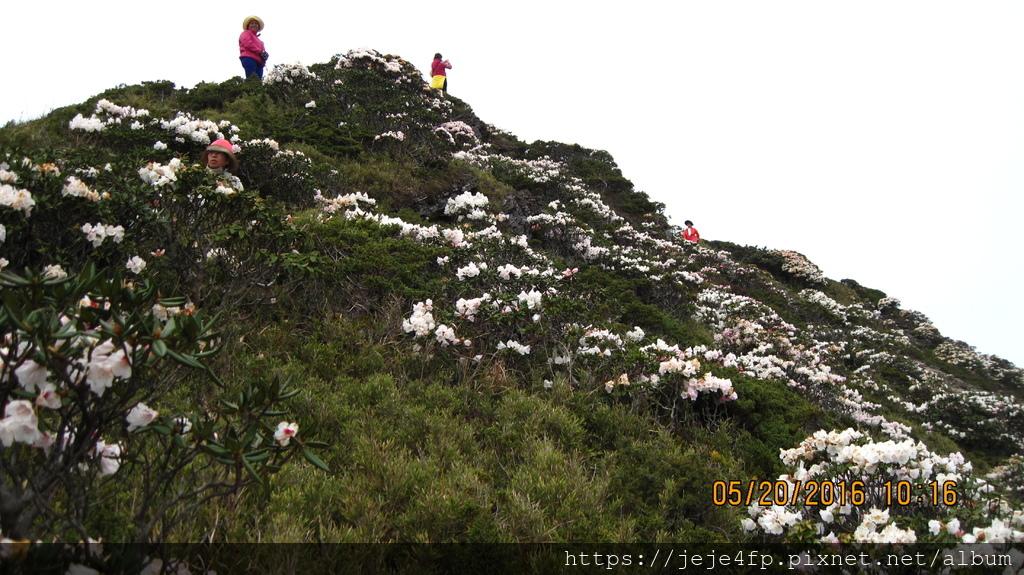 20160520 (188) 石門山東北側山坡的玉山杜鵑.JPG