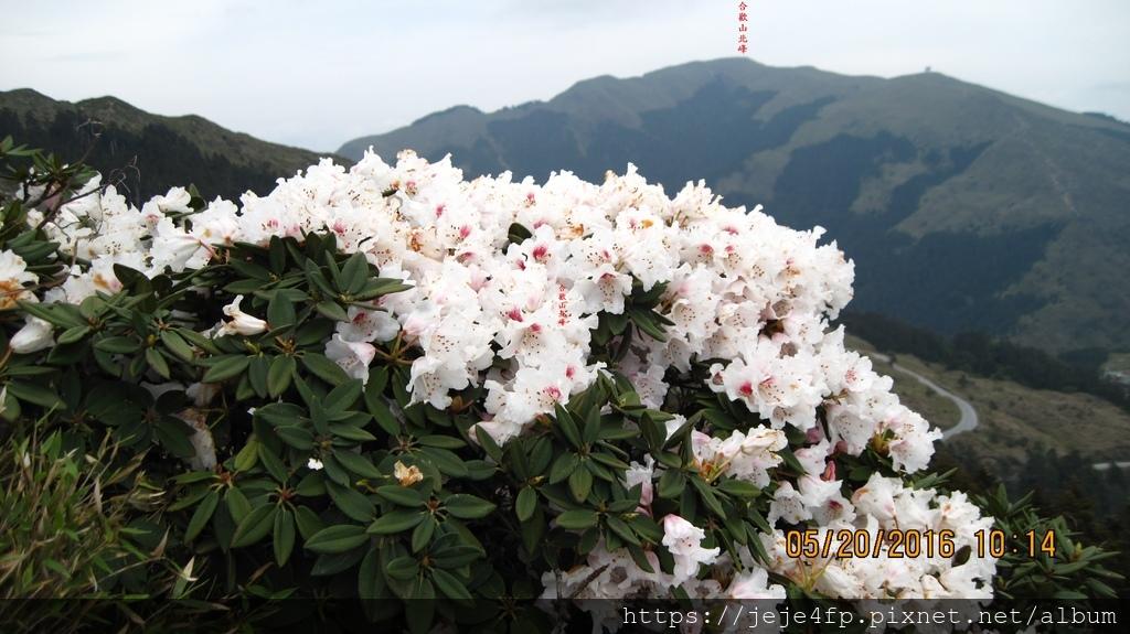 20160520 (169A) 石門山東北側山坡的玉山杜鵑 [背景是合歡山北峰].JPG