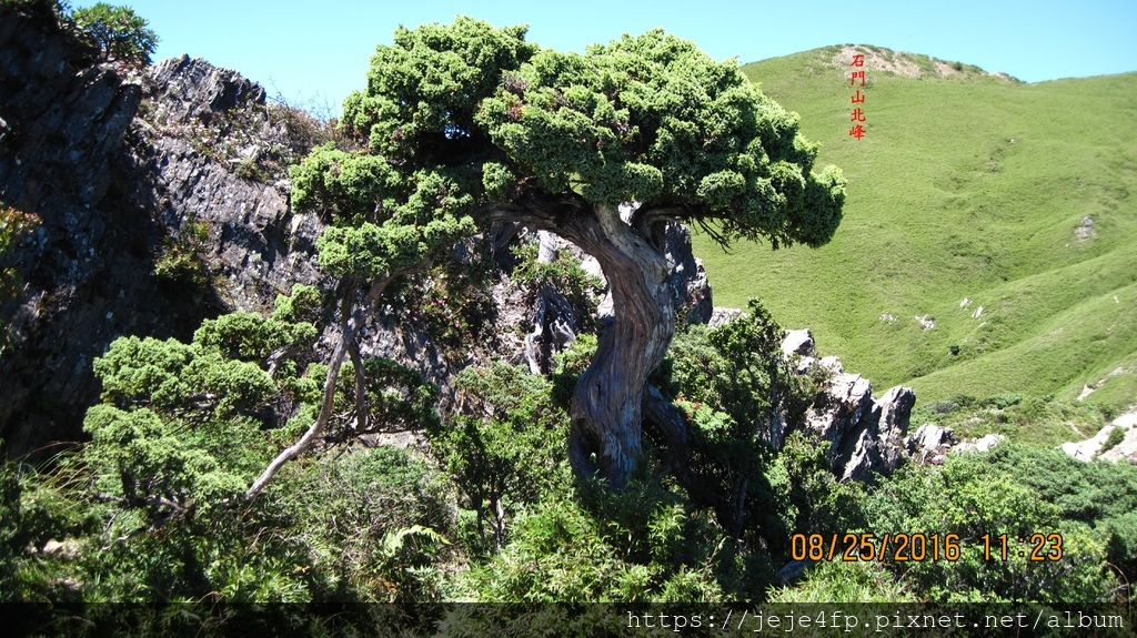20160825 (240A) 石門山的玉山圓柏C.JPG