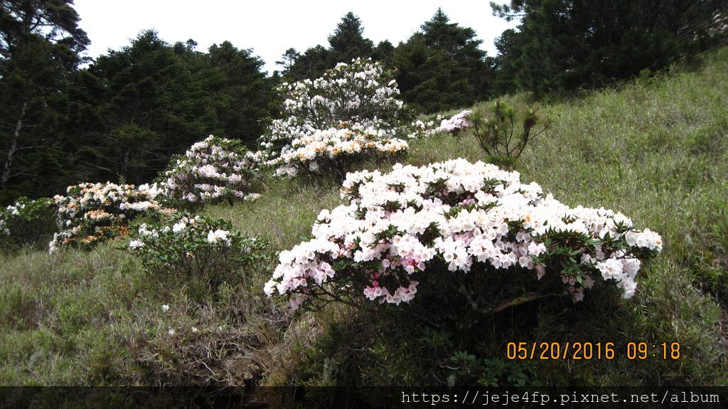 20160520 (83) 台14甲道路33Km(合歡尖山)的玉山杜鵑.JPG