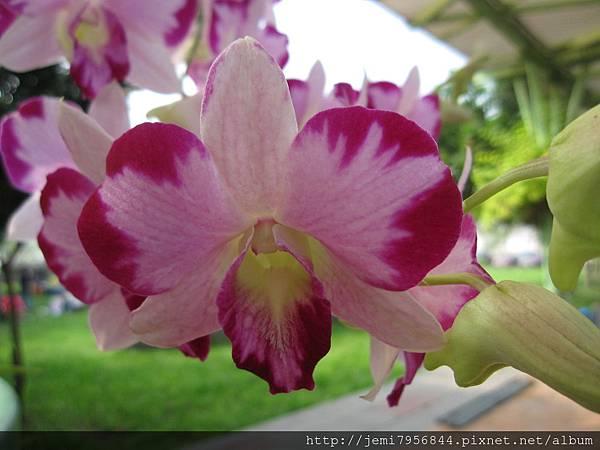 "Dendrobium  Ekapol "" Mutation """
