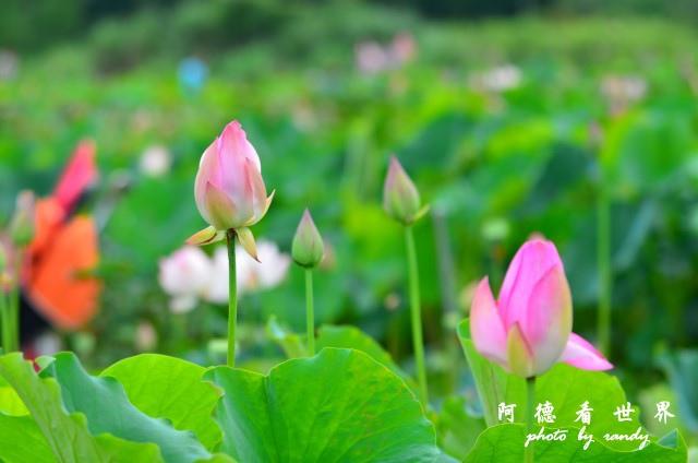 荷花園D7000 109.JPG