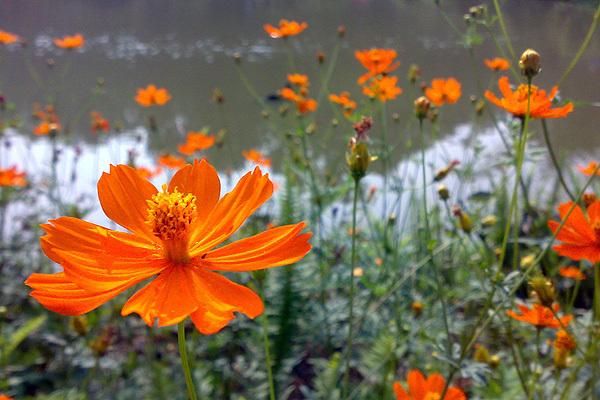 新化綠谷湖邊的波斯菊