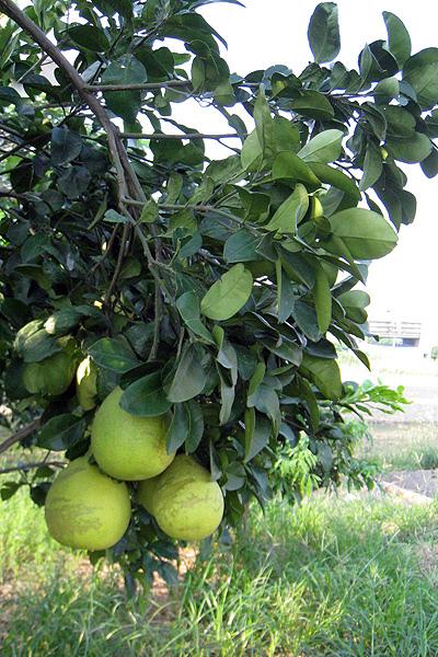 在樹上的柚子