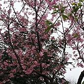 我的櫻芝戀小旅行-邀你一起幸福同行-開滿的櫻花