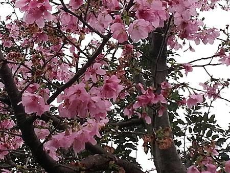 我的櫻芝戀小旅行-邀你一起幸福同行-美麗的櫻花