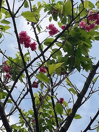 我的櫻芝戀小旅行-邀你一起幸福同-美麗的櫻花