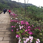 我的櫻芝戀小旅行-邀你一起幸福同行-杜鵑花步道1