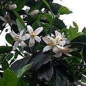 我的櫻芝戀小旅行-邀你一起幸福同行-木瓜花
