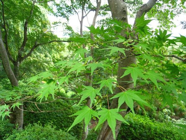 綠色的楓葉