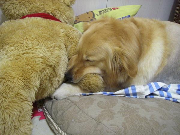 完全睡著!但是熊手還是不肯放