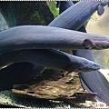 DSC09340-fire eel.JPG