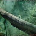 DSC09343-electric eel電鰻.JPG