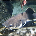 DSC09345-red tailed catfish鯰魚.JPG