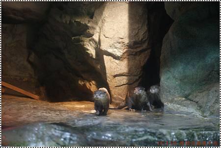 DSC09349-short clawed otter.JPG