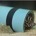 DSC09357-zebra eel.JPG