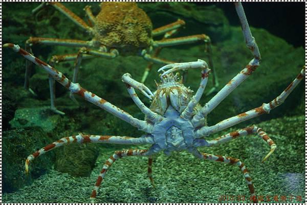 DSC09407-giant spider crab.JPG