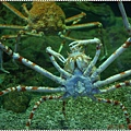 DSC09407-giant spider crab.JPG
