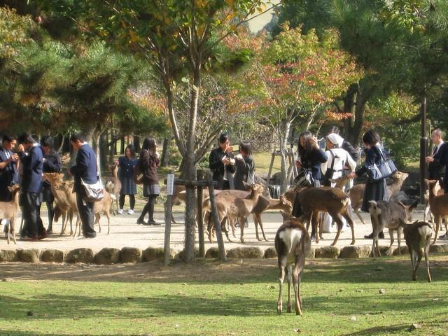日本學生餵鹿