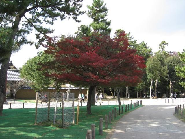 這是此行看到最紅的一棵楓樹