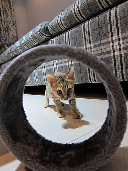 寵愛物語馬戲團貓咪跳台 愛貓園購入 (8)
