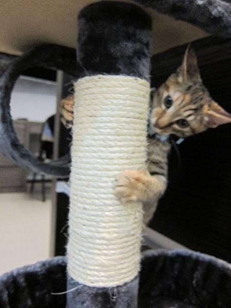 寵愛物語馬戲團貓咪跳台 愛貓園購入 (41)
