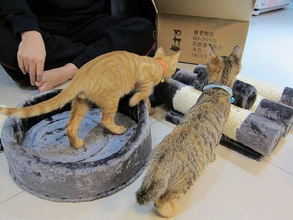 寵愛物語馬戲團貓咪跳台 愛貓園購入 (13)