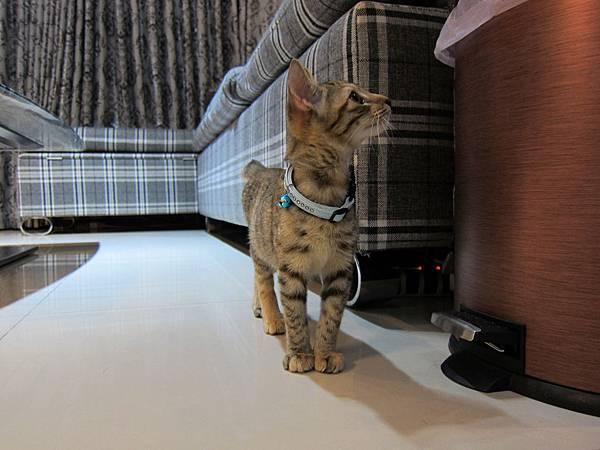 寵愛物語馬戲團貓咪跳台 愛貓園購入 (37)