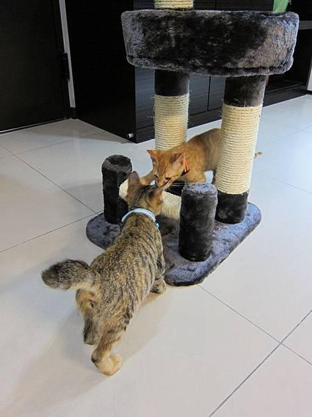 寵愛物語馬戲團貓咪跳台 愛貓園購入 (31)