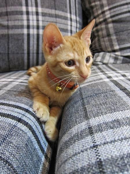 寵愛物語馬戲團貓咪跳台 愛貓園購入 (36)