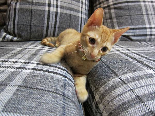 寵愛物語馬戲團貓咪跳台 愛貓園購入 (35)