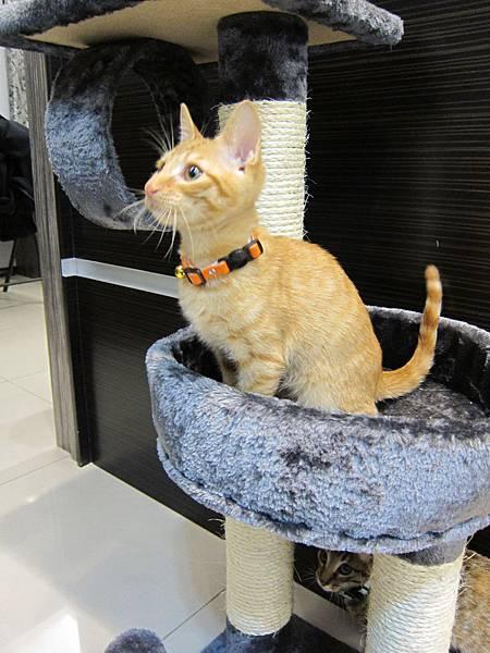 寵愛物語馬戲團貓咪跳台 愛貓園購入 (40)