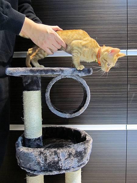 寵愛物語馬戲團貓咪跳台 愛貓園購入 (39)