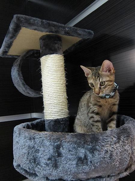 寵愛物語馬戲團貓咪跳台 愛貓園購入 (42)
