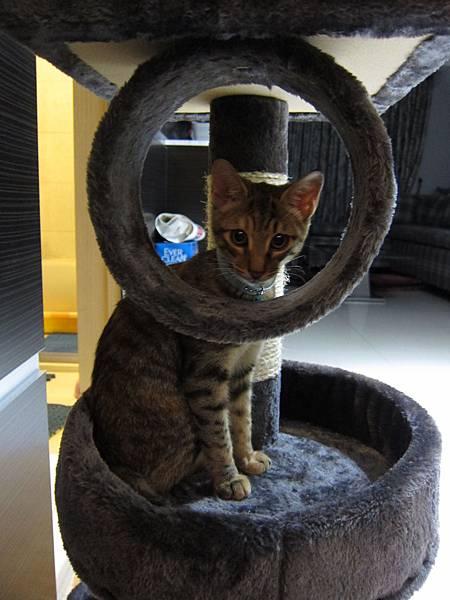 寵愛物語馬戲團貓咪跳台 愛貓園購入 (45)