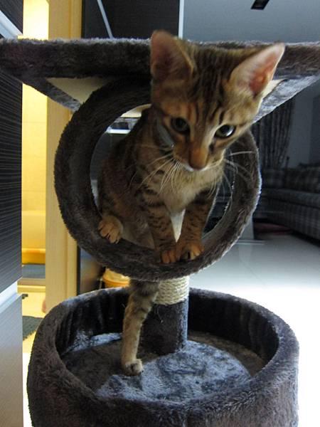 寵愛物語馬戲團貓咪跳台 愛貓園購入 (46)