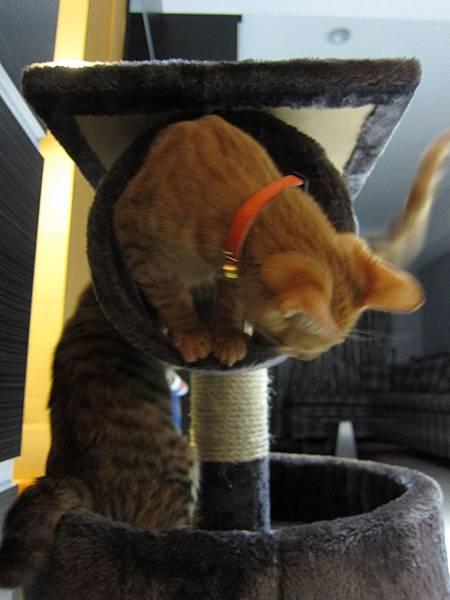 寵愛物語馬戲團貓咪跳台 愛貓園購入 (47)