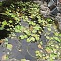 菜館外的池塘
