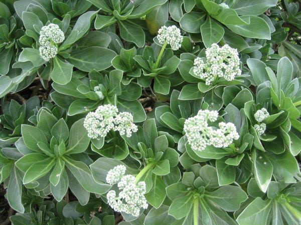 西嶼西臺古堡旁的不知名小花